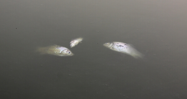 peces-muertos-china-1