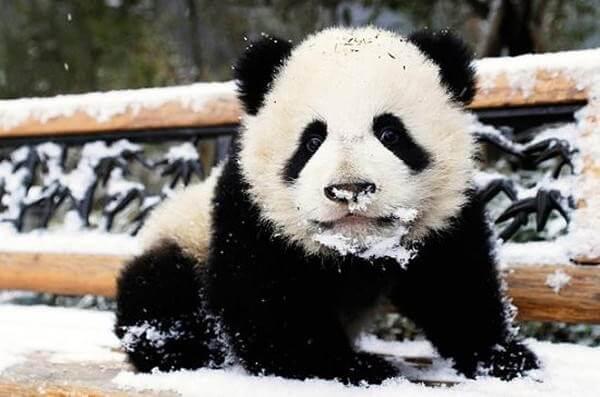 panda-nieve-1