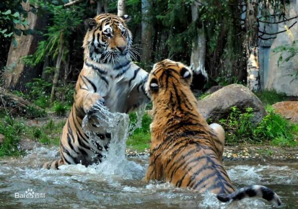 tigre-siberiano-2