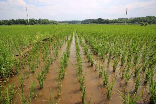 cultivo-arroz-changbai-1