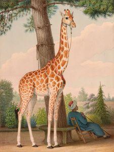 studie van giraf
