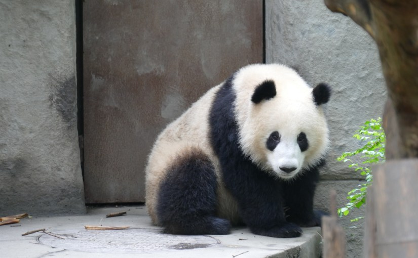 Video – Impressionen Panda Base Chengdu 4K 26.09.2015