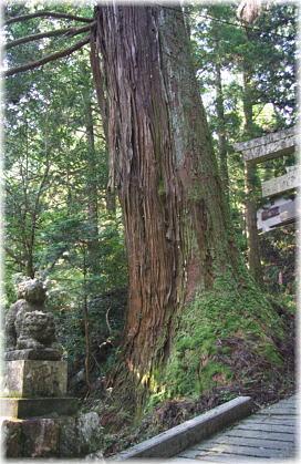 本山十二所神社のスギ