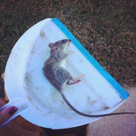 rat in dustpan