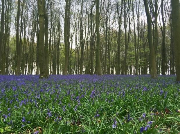 Bluebells at Badbury Clump - Badbury Hill - Vale of White Horse - Oxfordshire
