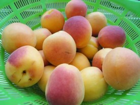 aprikose1