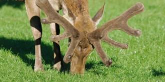 Deer Velvet Antler | Myths, Uses, Side Effects, Dosage and Warnings
