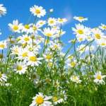 Chamomile: Health Benefits and Side Effects