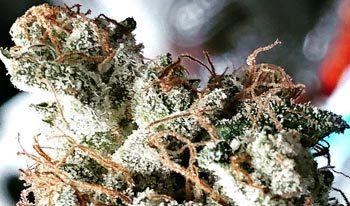 cannabis-plant-marijuana-350x206