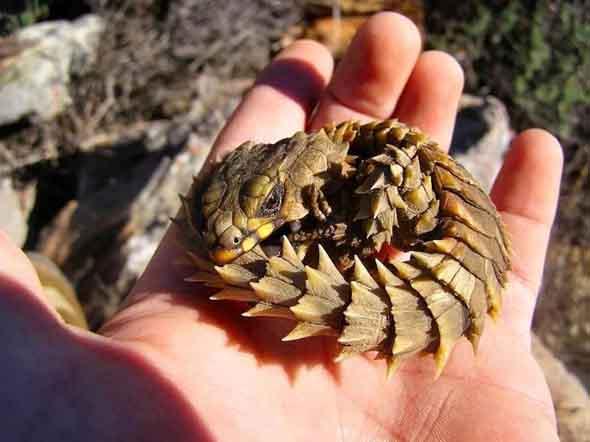 armadillo-girdled-lizard-roll-into-ball