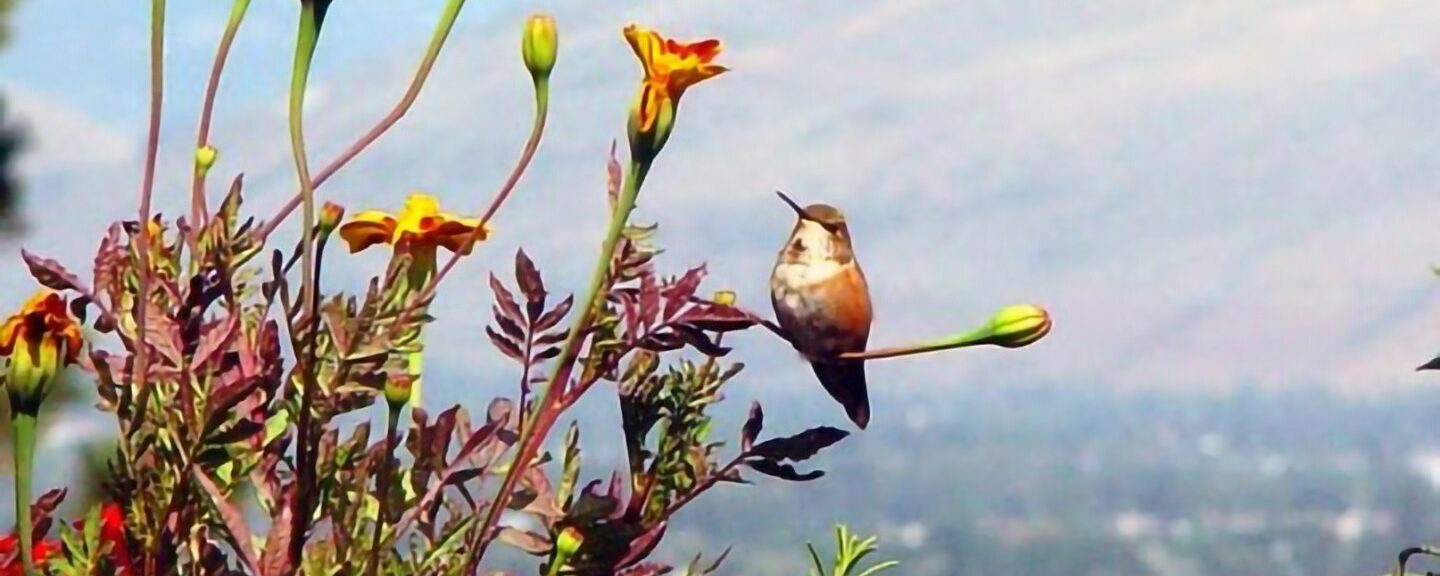 Hmong Folklore – The Grasshopper and The Mother-In-Law Humming Bird