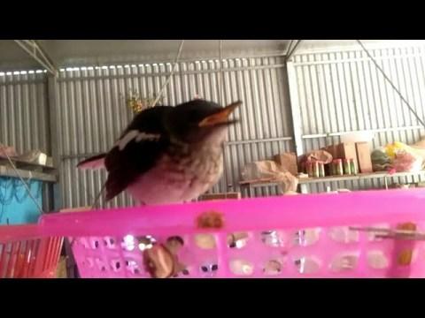Chim Non Cực Đẹp -Ai Mua Liên Hệ -nraug HMoob lis 2020