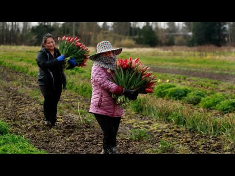 With Pike Place closed, Hmong flower farmers cultivate resilience