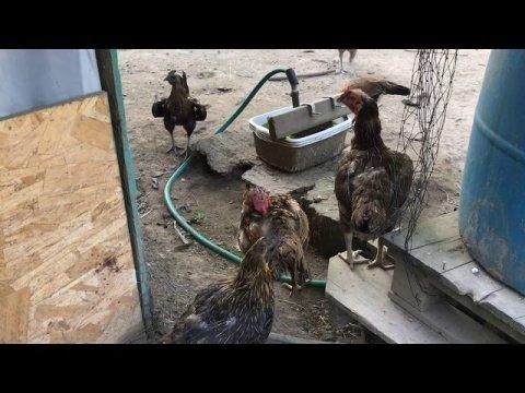 Beautiful Hmong Chickens   Qaib coob thiab loj tuaj lawm
