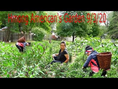 hmong American Picking Thai Chilli Peppers/Hmoob meskas de kua txob 9/3/2020