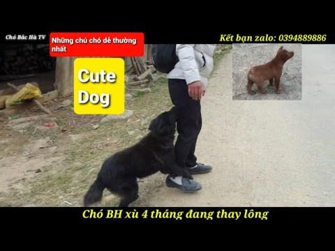 Chó Bắc Hà  Bắc Hà xù 4 tháng tuổi   Hmong cộc đuôi 2 tháng tuổi rất cute   nghịch như giặc vui quá
