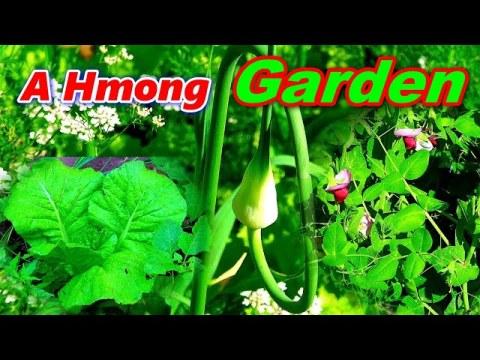 A Hmong Garden - Hmoob Lub Vaj Zaub