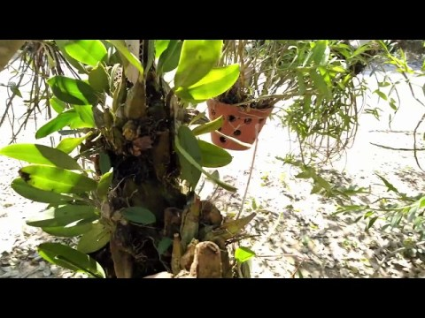 Cậu bé bán Lan Rừng dễ thương bản Hmong Forest orchid