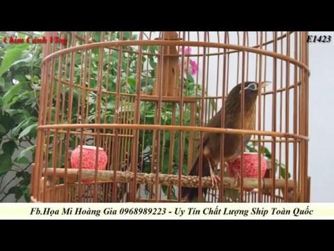 E1423 A H'mông Cất Tiếng Khèn Của Núi Rừng, Dòng Họa Mi Hót Thánh Thót Bài Bản Chim Thuần 95%