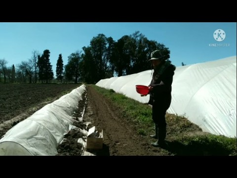 hmong Argentina ua yub zaub 15/09/21