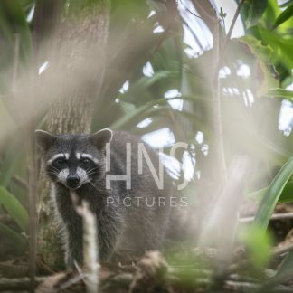 Panama Bocas del Toro Racoon Wildlife