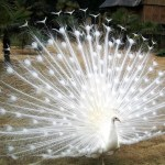 Picture: White Peacocks - Do they exist