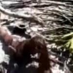 Picture about Dead Mermaid at Balambangan Island - Video