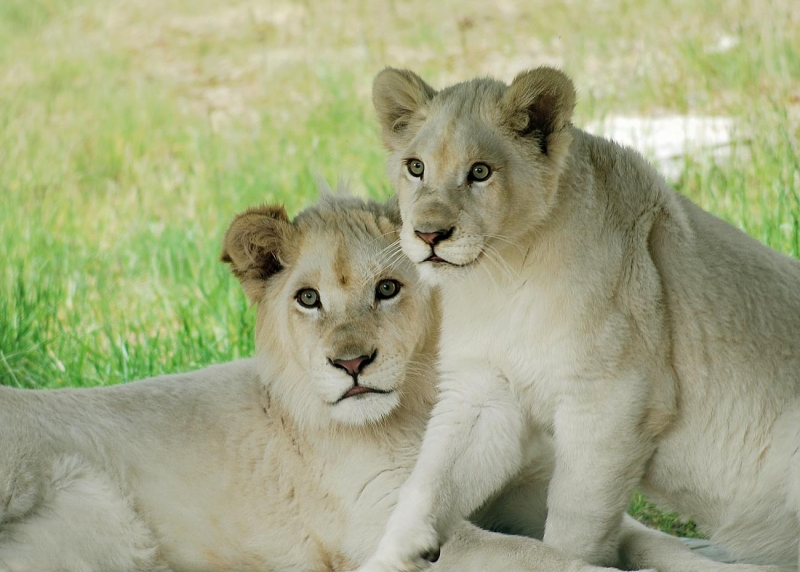 Picture of White Lion