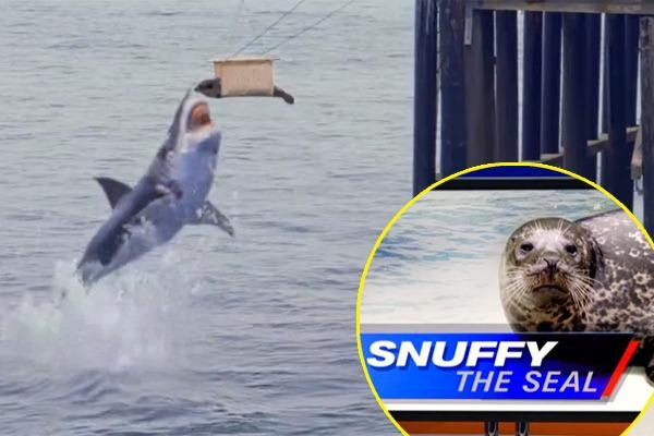Picture about Snuffy the Seal Snatched and Killed by a Shark