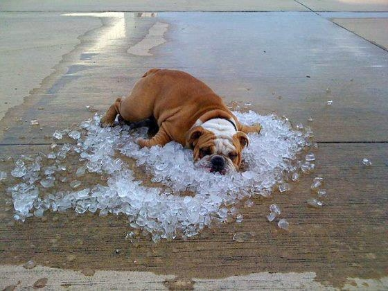 Picture about Beware Giving Ice Water or Feeding Ice Cubes to Dogs