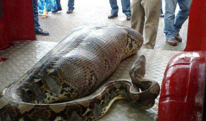 Picture about Giant Snake Swallows a Woman in South Africa