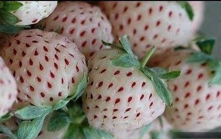 Picture about Pineberries, Crossbreed of Strawberries and Pineapples