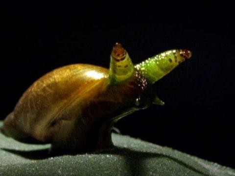 Picture: Zombie Snails are Coming