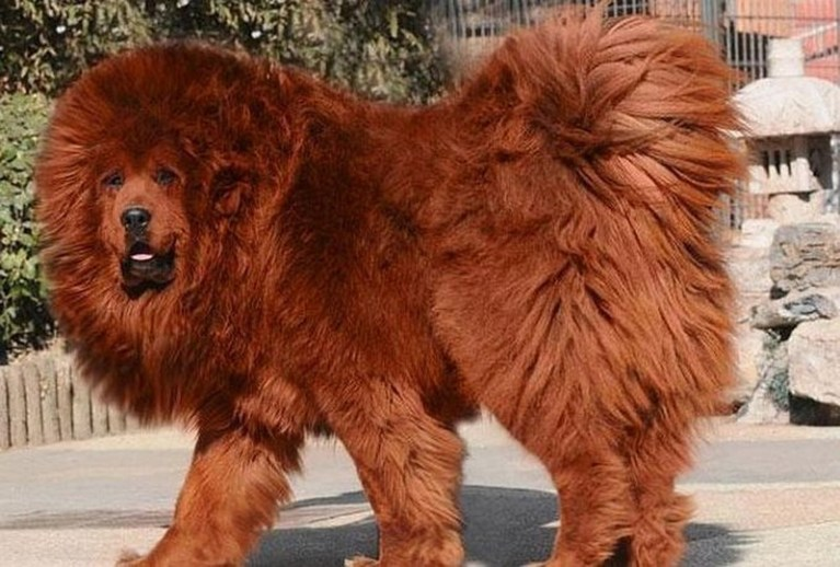 Picture about Tibetan Mastiff, World's Most Expensive Dog