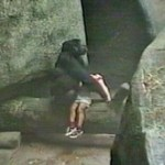 Picture about Female Gorilla Saved a 3 Yr Old Boy who Fell into Zoo Enclosure