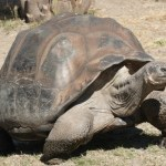 Picture about A Tortoise in India Lived for 250 Years
