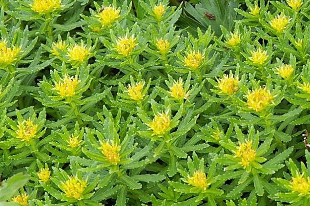 Sanjeevani Booti Like Herb Found in Himalayas: Facts
