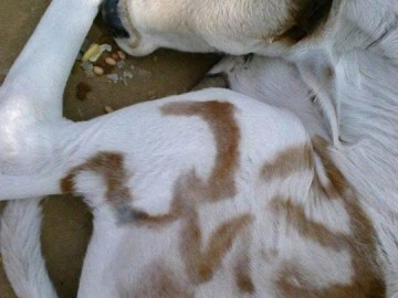 Picture about Holy Cow in India Born with Ram and Om Marks on Body