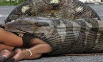 Picture about Shocking Video, Anaconda Eats Woman Alive