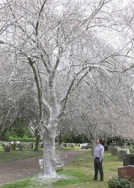 Picture of Creepy Caterpillar Cobwebs Bring Ghostly Look to Trees