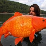 Picture about Fisherman catches Massive Goldfish
