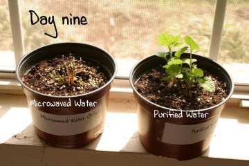 Picture of Microwaved Water Kills Plant in Home Grown Experiment