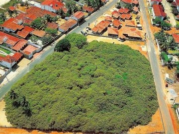 Picture Showing One Thousand Year Old, World's Largest Cashew Tree