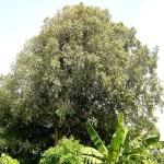 Picture of Nagapushpa Mesua Ferrea Tree (Nagakesara)