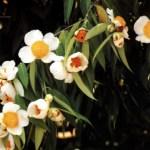 Picture of Nagapushpa Mesua Ferrea Tree (Nagakesara) Flower