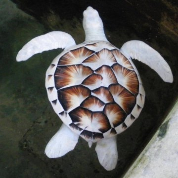 Picture of Rare Albino Sea Turtle