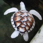 Picture of Rare Albino Sea Turtle