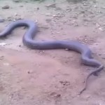 Picture of Video of Snake Giving Birth to Live Young Ones