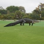Picture of Giant Alligator Spotted on Florida Golf Course