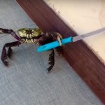 Picture from Video of Gangster, Knife-wielding Crab